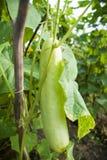 Trädgårds- gurkor. Fotografering för Bildbyråer