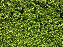 trädgårds- häck Fotografering för Bildbyråer