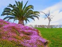 Trädgårds- härliga fält för pion av ranunculusen som är fullvuxna i söderna Arkivfoton