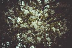 Trädgårds- härliga fält för pion av ranunculusen som är fullvuxna i söderna Royaltyfri Foto