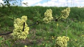 Trädgårds- härliga fält för pion av ranunculusen som är fullvuxna i söderna Filialerna av trädet fladdrar i vinden De har unga si stock video