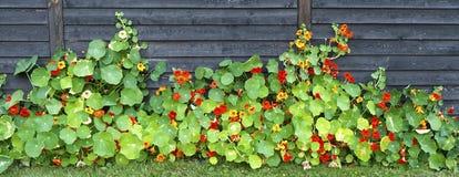 Trädgårds- indiankrasse på ett staket royaltyfri foto