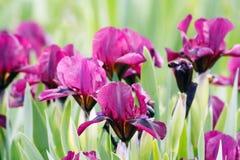trädgårds- irises Arkivfoto