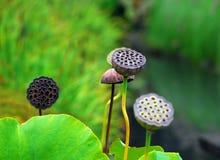trädgårds- japan Arkivbild