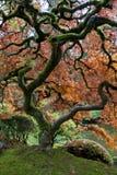 trädgårds- japansk lönnred Royaltyfri Bild