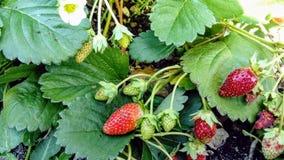 trädgårds- jordgubbar arkivfoton