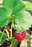 trädgårds- jordgubbar Arkivbild