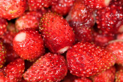 Trädgårds- jordgubbe Arkivfoton