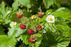Trädgårds- jordgubbe för växtstående Royaltyfria Foton