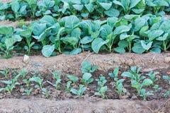 trädgårds- kalegrönsak för kines royaltyfri foto