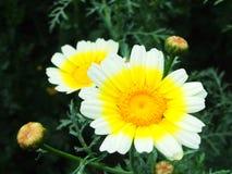 Trädgårds- krysantemum Blommor arkivfoton