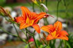 Trädgårds- kulor för blomma Arkivbild