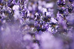 trädgårds- lavendel Arkivfoto