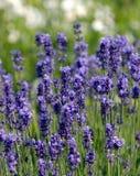 trädgårds- lavendel Royaltyfri Foto