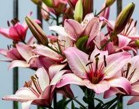trädgårds- liljapink fotografering för bildbyråer