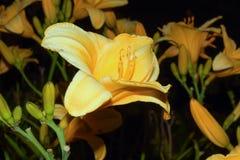 Trädgårds- liljor Royaltyfria Bilder
