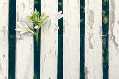 Trädgårds- Lily Over White Wooden Fence bakgrund Arkivfoto