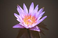 trädgårds- lotusblommapöl Royaltyfria Foton