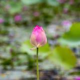 trädgårds- lotusblommapink Arkivbilder