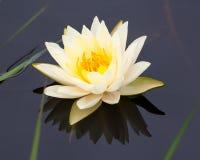 trädgårds- lotusblommawhite Fotografering för Bildbyråer