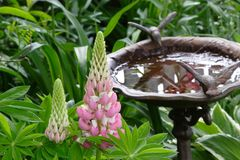 trädgårds- lupin Royaltyfria Foton