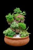 Trädgårds- magasin av kaktuns i kruka Royaltyfria Bilder
