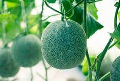Trädgårds- melon Royaltyfri Fotografi