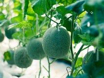 Trädgårds- melon Fotografering för Bildbyråer