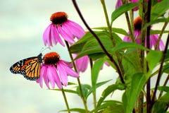 trädgårds- monark royaltyfri foto