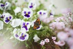 trädgårds- monark för fjäril Arkivbilder