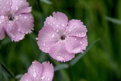 Trädgårds- nejlikor Royaltyfri Foto