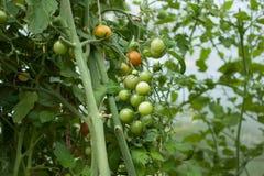 Trädgårds- nya tomater på en filial Royaltyfria Foton