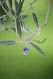 trädgårds- olivgrön för filial arkivbild