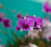 trädgårds- orchidpink Royaltyfri Bild