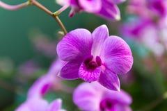 trädgårds- orchidpink Fotografering för Bildbyråer