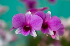 trädgårds- orchidpink Arkivfoto
