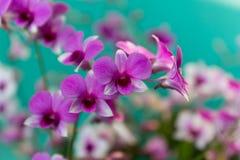 trädgårds- orchidpink Royaltyfri Foto