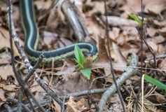 Trädgårds- orm i trän i Wisconsin arkivfoto