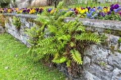 Trädgårds- ormbunke Royaltyfri Foto