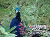 trädgårds- påfågel Royaltyfri Foto