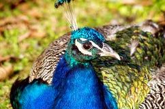 trädgårds- påfågel Arkivfoton