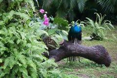 trädgårds- påfågel Arkivbild