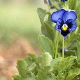 trädgårds- pansy Royaltyfri Fotografi