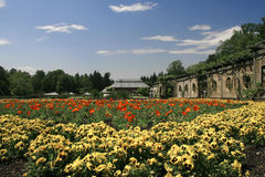 trädgårds- pansy Arkivfoton