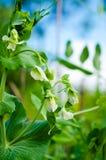 Trädgårds- Pea White Flower med vinrankan och blå himmel Arkivbild