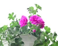Trädgårds- pelargon på en vit Royaltyfria Foton