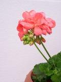 Trädgårds- pelargonblomma i en kruka Arkivfoton