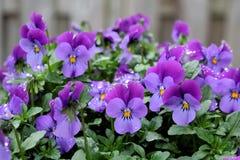 Trädgårds- pensé, Violets eller altfiol Fotografering för Bildbyråer
