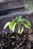 trädgårds- peppar Arkivfoto