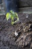 trädgårds- peppar Royaltyfria Bilder